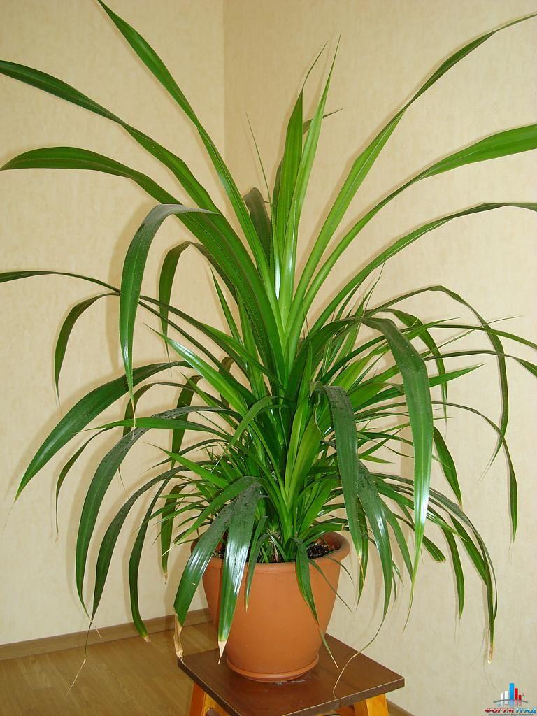 Комнатные цветы комнатные пальмы и каталог