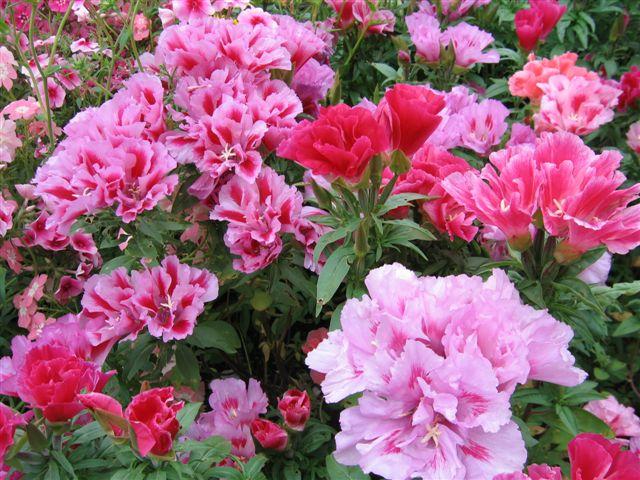 Цветы годеция фото 6