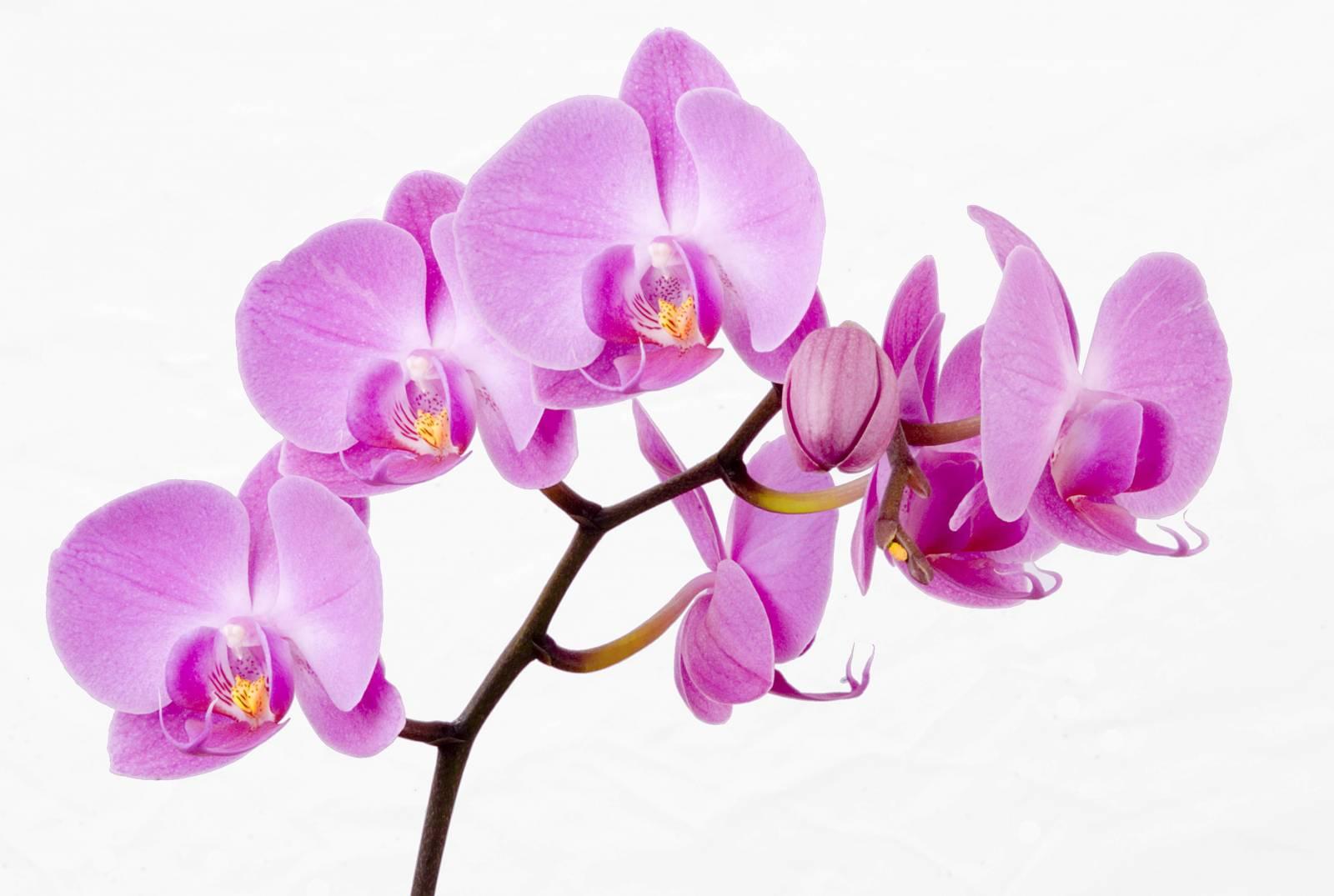 Комнатные цветы фото пеперомия 4
